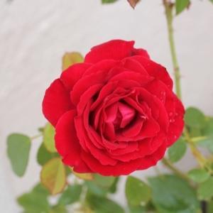 我が家の赤い薔薇6種(レッド・パフューム、チェリーボニカ、パトリック・プワヴル・ダヴォアetc)