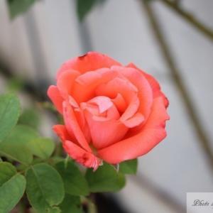 我が家のオレンジ系の薔薇3種(インターフローラ、レディ・エマ・ハミルトン、カリジア)