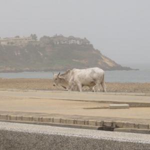 今度は牛さんが、市内で放し飼い!?(2020年10月24日)