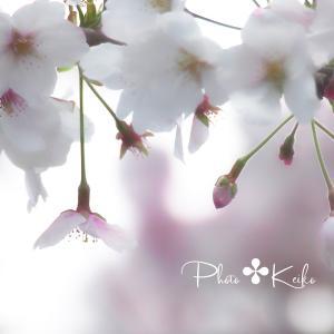 桜と山ツツジ...のぉ花見✤