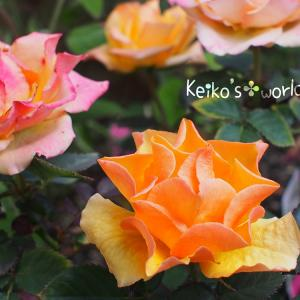 花壇のミニ薔薇ちゃん...✤