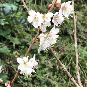 桜の花が今年はもう咲きました!梅と桜と水仙の競演です!