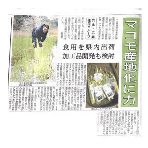 まこも栽培の先輩が新聞に取り上げられました