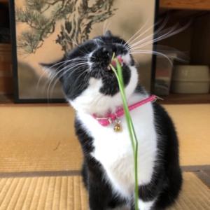 まこも葉を猫草みたいにすーさんが食べてくれるのか?