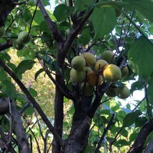 梅とティーツリーと栗の木