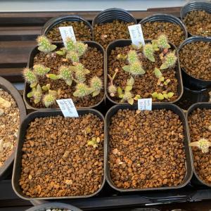 オプンチア charlestonensis の発芽