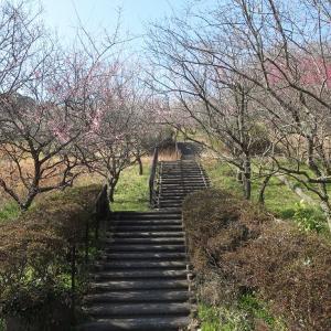 金沢自然公園の梅林と菜の花が見頃です
