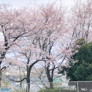 桜の楽しみ方いろいろ -外でもお家でも-