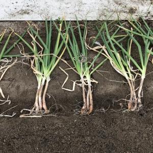 葱のランボーな植え替え