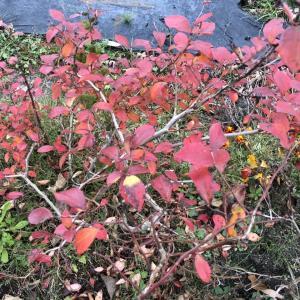 ブルーベリーの紅葉とレモンの防寒