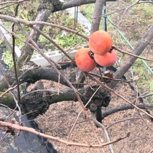 残りの柿を狙う黒い影