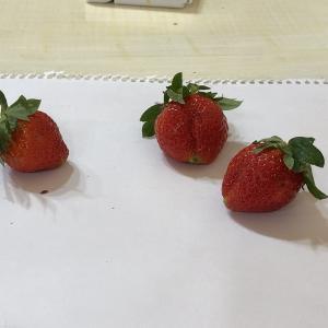 新しい苺「珠姫」と腐った苺