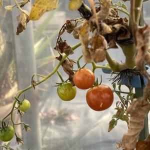 ハガキが届いた♪温室のトマトが赤くなったよ~