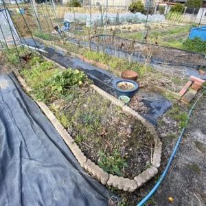 収穫ガーデンの草むしり!三太郎大根の収穫と今日のスズメ