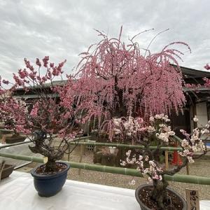 盆梅展は満開過ぎて(^-^;) 春じゃがの準備♪