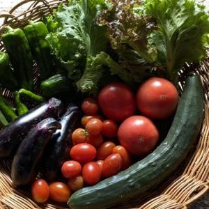 桃太郎トマトの初収穫♪インゲンがこわい…これが葉巻虫?