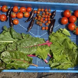 雨の合間の収穫~色々なエアルームトマト♪