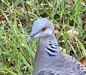 畦草集め・土用干しの様子・豆を食らっていない鳩