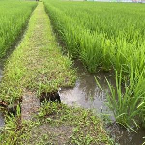 土用干しは終了、田んぼに水を入れました