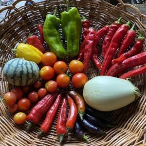 水やりと野菜の収穫とテーブルの上の靴下