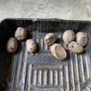ジャガイモを植えました…