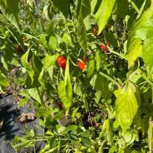 金象印のミニスコップとグランドカバーとしての落花生の収穫