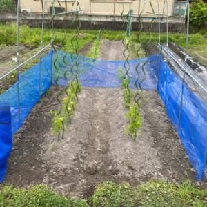 お師匠さま的草むしり(^ー^;) トマトに防鳥ネット