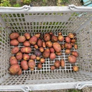 ジャガイモを掘ってマクワウリの場所を作る