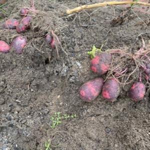 百合 ウルイの花 ジャガイモ高松式栽培の行方不明