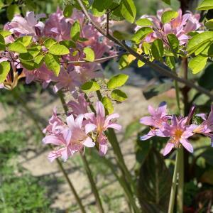 土用干し 畔の刈り草集め 夏水仙の花