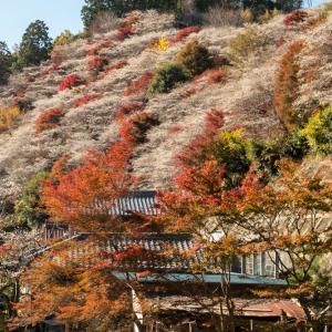 小原 四季桜