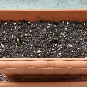 #35 家庭菜園 空芯菜の種まき