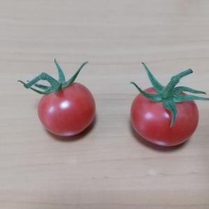 #36 家庭菜園 ミニトマト初収穫