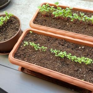 #55 家庭菜園 ニンニク、水菜、はつか大根