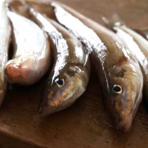 船シロギス釣りの必勝アイテム「くったくたの青イソメ」を製造する