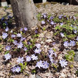春の高級キノコ、アミガサタケ、出る