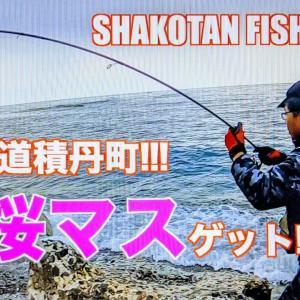 北海道積丹町にてサクラ鱒を遂にゲット!!!