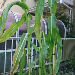 栽培キット系の、トウモロコシとインゲン収穫!