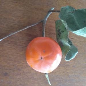 我が家の柿