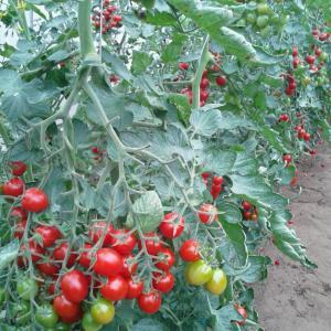 青果物 ● 果菜・豆類野菜 商品のご案内