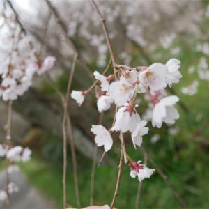 国指定文化財、桜の名所で少しだけお花見🌸茨城県桜川市
