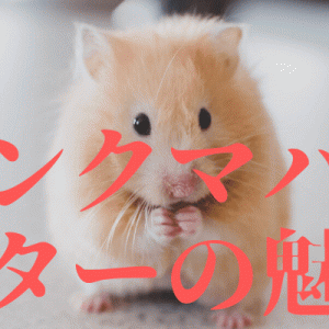 【★キンクマハムスターの魅力★】