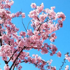 綺麗すぎて偽物みたいな桜。