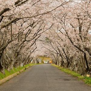 趣味の写真館 「 桜の花のトンネル 」