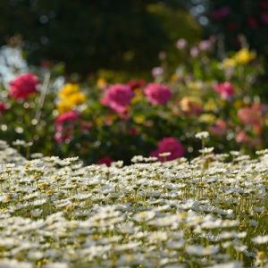 趣味の写真館 「 伊予三島運動公園のバラ 」