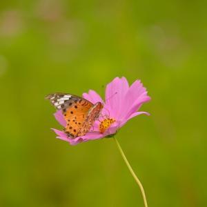 趣味の写真館 「 コスモスと蝶 」
