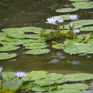 趣味の写真館 「 宝山湖の睡蓮 」