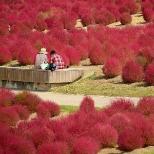 趣味の写真館 「 まんのう公園のコキア 2020秋 」