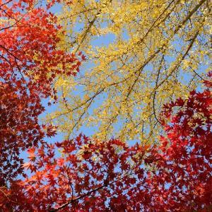 趣味の写真館 「紅葉を見上げる」