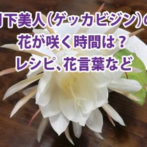 月下美人(ゲッカビジン)の花が咲く時間は?食べ方のレシピ、花言葉などもご紹介